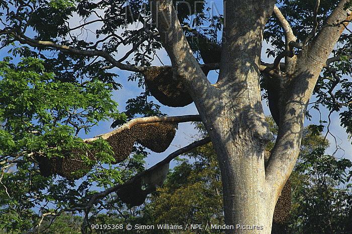 Giant honey bee nests (Apis dorsata) in (Compassia sp) tree, Sabah, Borneo, Indonesia  -  Simon Williams/ npl