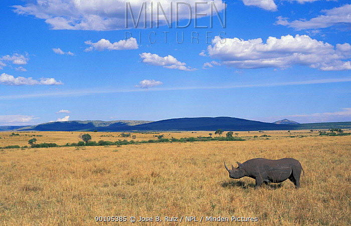 Black rhinoceros (Diceros bicornis) on savanna, Kenya  -  Jose B. Ruiz/ npl