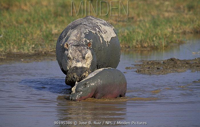 Hippopotamus and calf (Hippopotamus amphibius) Kenya  -  Jose B. Ruiz/ npl