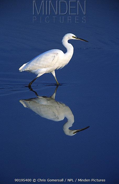 Little egret wading (Egretta garzetta) Titchwell RSPB, Norfolk, UK  -  Chris Gomersall/ npl