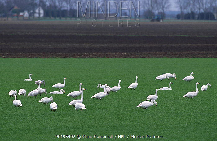 Flock of Bewick's swans feeding on fens (Cygnus columbianus bewickii) Cambridgeshire, UK  -  Chris Gomersall/ npl