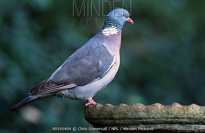 Wood pigeon at garden birdbath (Columba palumbus) UK  -  Chris Gomersall/ npl