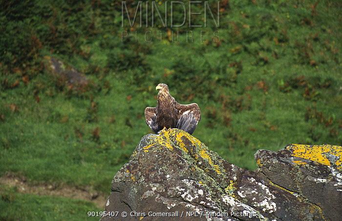 White tailed sea eagle sunning on rock (Haliaeetus albicilla) Scotland, UK  -  Chris Gomersall/ npl