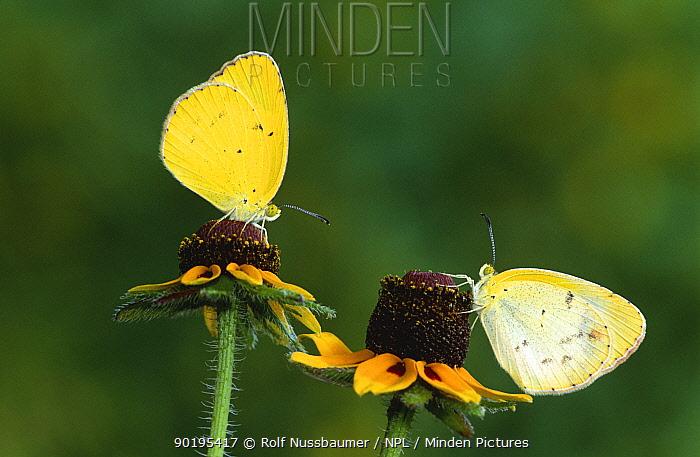 Little yellow butterfly pair (Eurema lisa) Texas, USA  -  Rolf Nussbaumer/ npl
