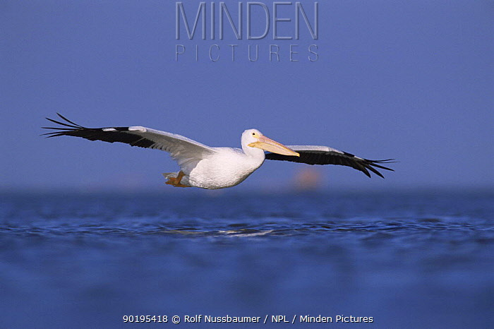 American white pelican flying (Pelecanus erythrorhynchos) Texas, USA  -  Rolf Nussbaumer/ npl