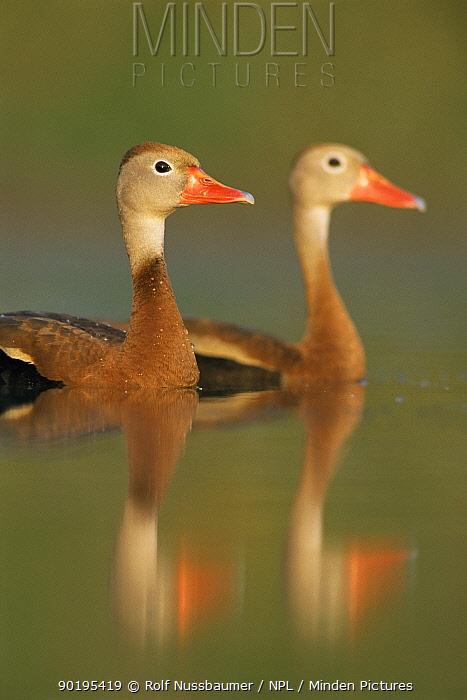 Pair of Black belled whistling ducks (Dendrocygna autumnalis) Texas, USA  -  Rolf Nussbaumer/ npl