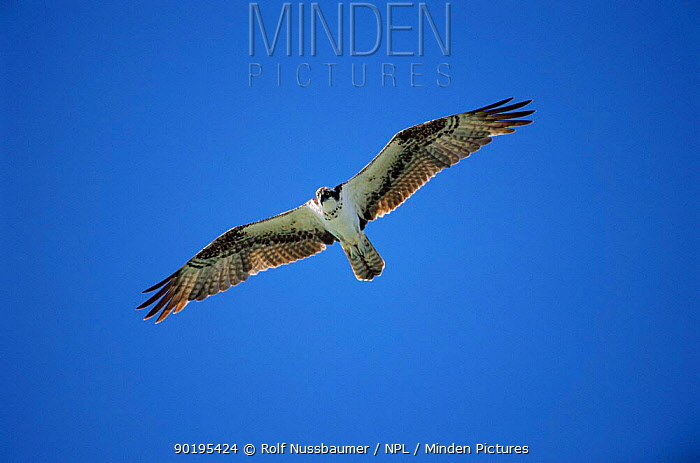 Osprey in flight (Pandion haliaetus) Florida, USA  -  Rolf Nussbaumer/ npl
