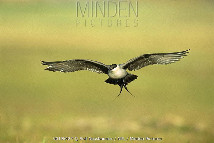 Long tailed skua, jaeger in flight (Stercorarius longicaudus) Norway  -  Rolf Nussbaumer/ npl