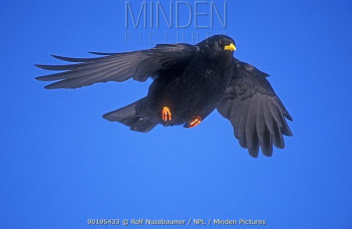 Alpine chough in flight (Pyrrhocorax graculus) Switzerland  -  Rolf Nussbaumer/ npl