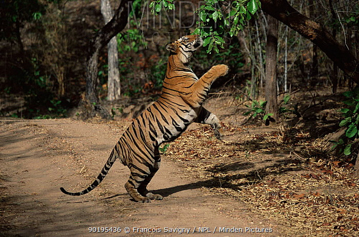 Male Bengal tiger playing with leaves (Panthera tigris tigris), Bandhavgarh, India  -  Francois Savigny/ npl