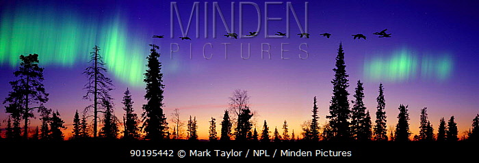 Whooper Swans (Cygnus cygnus) flying against Aurora borealis at sunrise, Finland Digital composite  -  Mark Taylor/ npl