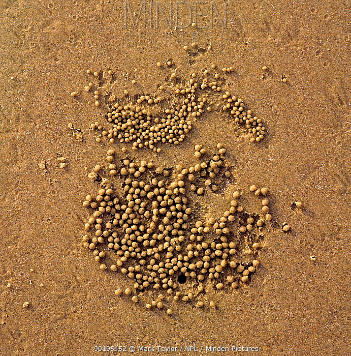 Balls of sand created by feeding Sand-bubble crabs (Scopimera sp) Queensland,  -  Mark Taylor/ npl