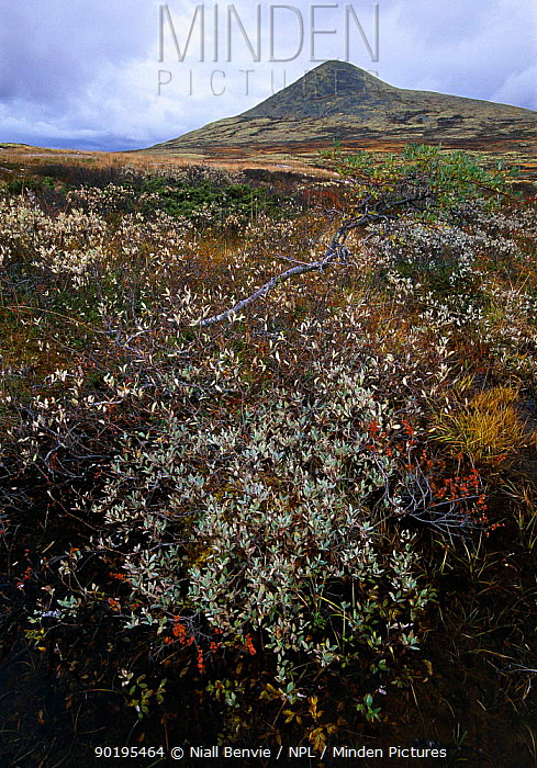 Willow (Salix sp) growing on mountain slope, Rondane National Park Norway  -  Niall Benvie/ npl