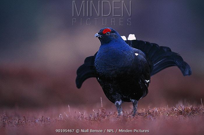 Male Black grouse (Tetrao tetrix) displaying on lek site Scotland, UK  -  Niall Benvie/ npl