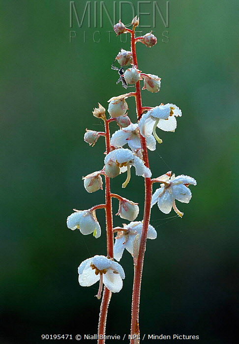 Round-leaved wintergreen (Pyrola rotundifolia) Estonia  -  Niall Benvie/ npl