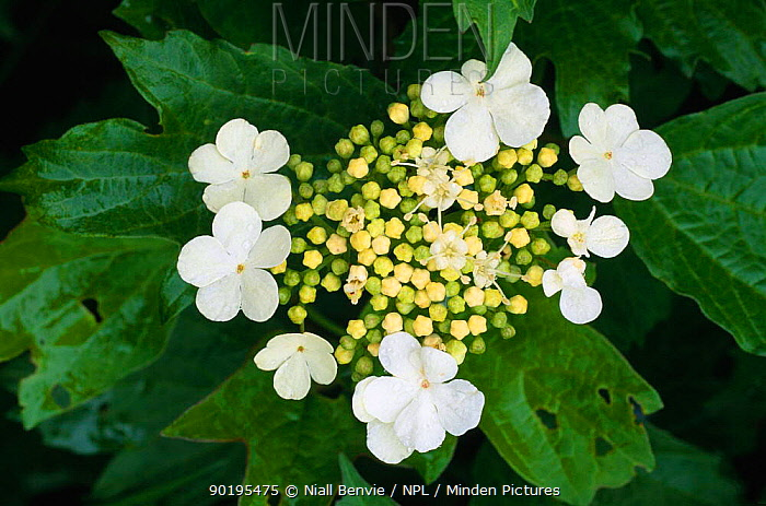 Guelder rose flowers (Viburnum opulus) with insect damaged leaves, UK  -  Niall Benvie/ npl