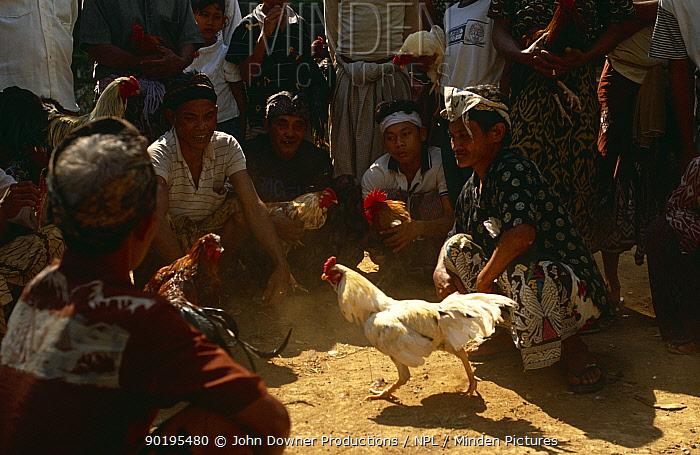 Cock (Gallus gallus domesticus) fighting, Bali, Indonesia  -  John Downer/ npl