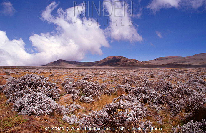 Short afroalpine meadows of High Sanetti plateau landscape, Bale Mountains NP, Ethiopia, East Africa  -  Charlie Hamilton James/ npl