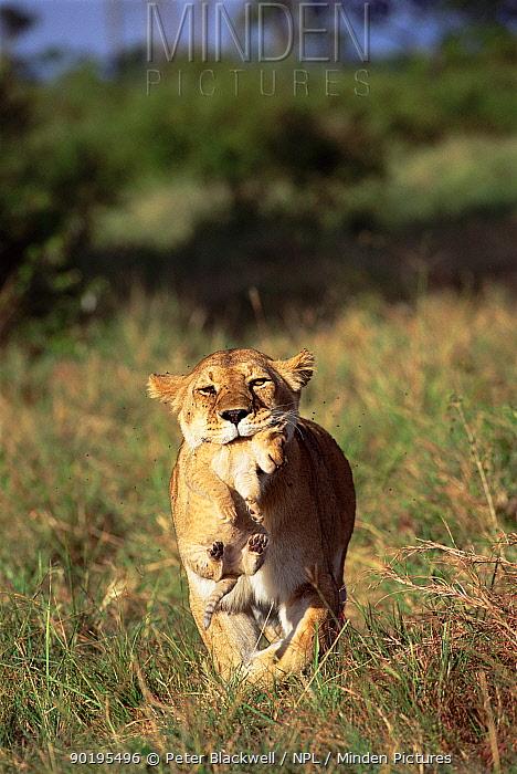 Lioness carrying cub in mouth (Panthera Leo) Masai Mara, Kenya, Africa  -  Peter Blackwell/ npl