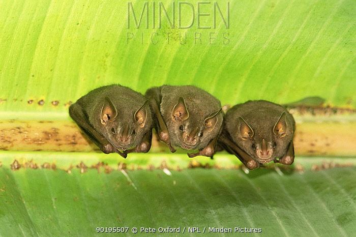 Davis' tent building bats (Uroderma magnirostrum) Madre de Dios, Peru, South America  -  Pete Oxford/ npl