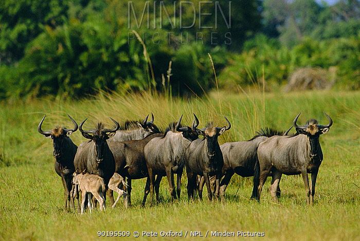 Wildebeest herd with calves (Connochaetes taurinus) Okavango, Botswana  -  Pete Oxford/ npl