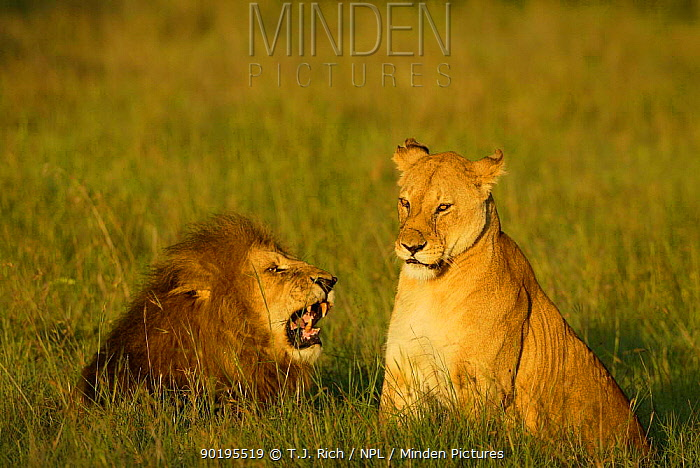 Elderly Lion pair (Panthera leo) Masai Mara, Kenya, Africa  -  T.J. Rich/ npl