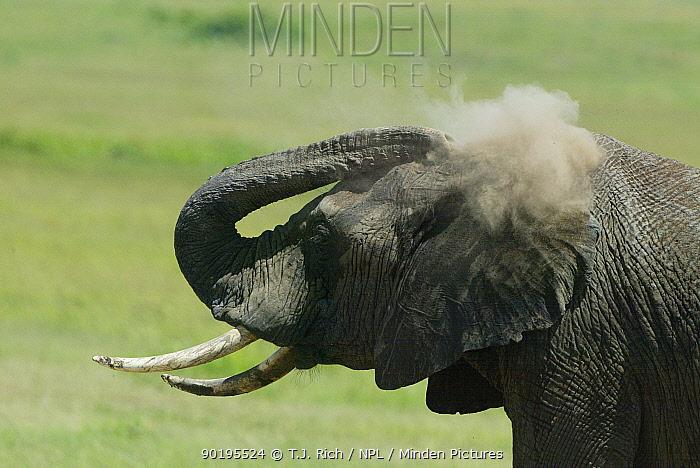Young African elephant dust bathing (Loxodonta africana) Masai Mara, Kenya, Africa  -  T.J. Rich/ npl