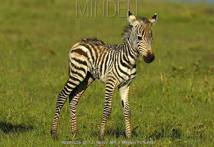 Common Zebra foal (Equus burchelli) Masai Mara, Kenya  -  T.J. Rich/ npl