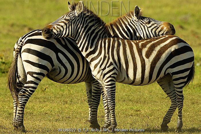 Common Zebras mutual grooming (Equus burchelli) Masai Mara, Kenya  -  T.J. Rich/ npl