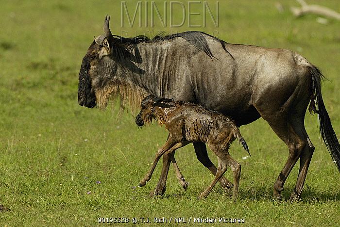 Newborn wildebeest taking first steps beside mother (Connochaetes taurinus) Masai Mara, Kenya, Africa  -  T.J. Rich/ npl