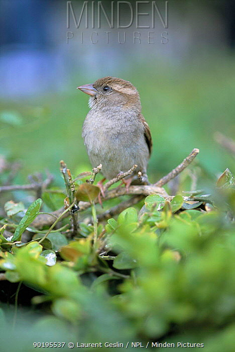 Common, House sparrow (Passer domesticus) female, portrait, UK  -  Laurent Geslin/ npl