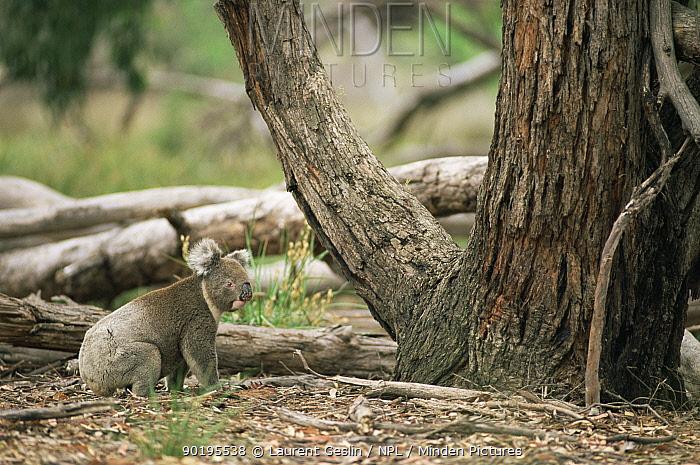 Koala (Phascolartcos cinereus) on the gound Australia  -  Laurent Geslin/ npl