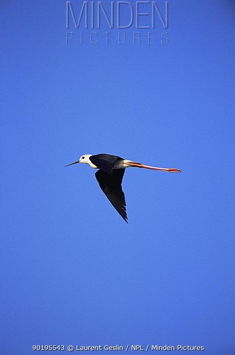 Black-winged stilt (Himantopus himantopus) flying, France  -  Laurent Geslin/ npl