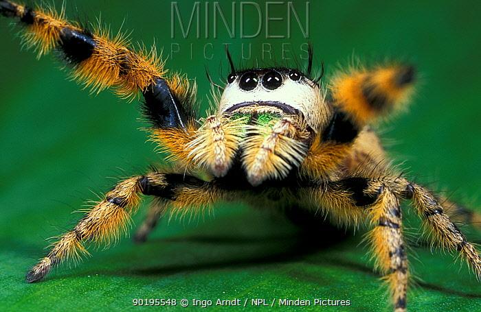 Canopy jumping spider (Phidippus otiosus) Florida, USA  -  Ingo Arndt/ npl