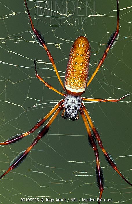 Golden silk orbweaver, Banana spider on web (Nephila clavipes) Florida, USA  -  Ingo Arndt/ npl