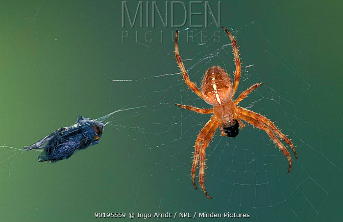 Garden spider with fly prey in web (Araneus diadematus) Germany  -  Ingo Arndt/ npl