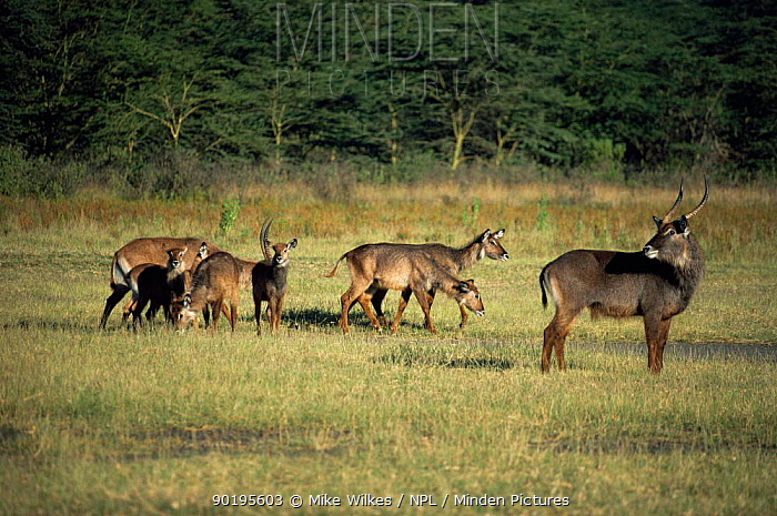 Family herd of Defassa waterbuck (Kobus ellipsiprymnus defassa) Kenya  -  Mike Wilkes/ npl