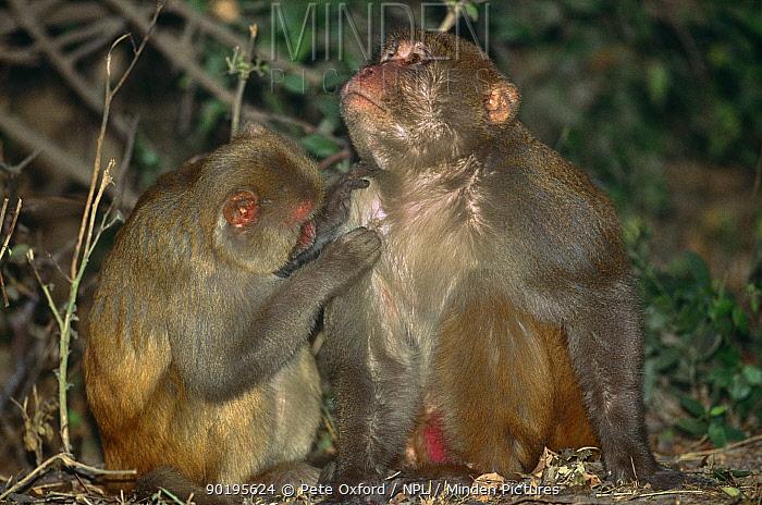 Rhesus macaques (Macaca mulatta) mutual grooming, Keoladeo NP, India  -  Pete Oxford/ npl