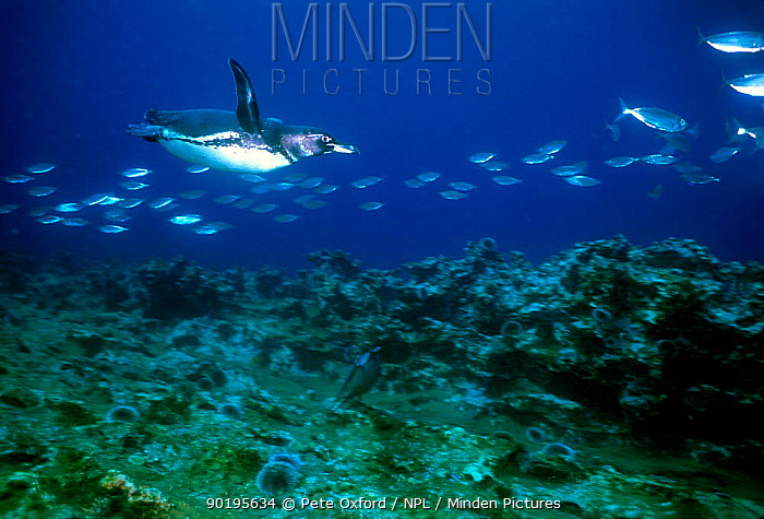 Galapagos penguin swimming with fish underwater Galapagos (Spheniscus mendiculus)  -  Pete Oxford/ npl