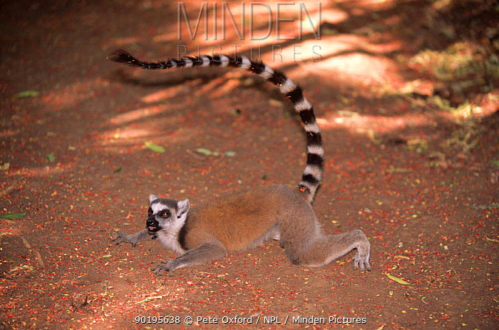 Ring-tailed lemur lying down on ground to cool off (Lemur catta), Berentry Reserve, Madagascar  -  Pete Oxford/ npl
