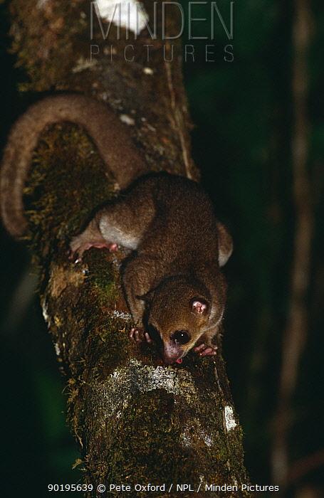 Greater dwarf lemur (Cheirogaleus major) sucking gum from tree at night, Masoala Peninsula, Madagascar  -  Pete Oxford/ npl
