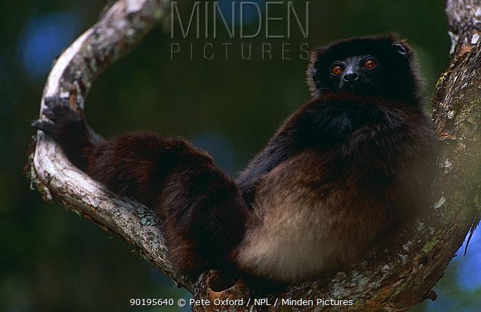 Milne Edward's sifaka (Propithecus diadema edwardsi) resting in tree, Ranamafana NP, Madagascar  -  Pete Oxford/ npl