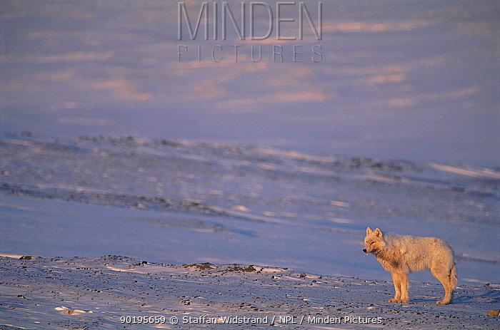 Grey, Arctic wolf in landscape (Canis lupus) Ellesmere Is, Canada  -  Staffan Widstrand/ npl