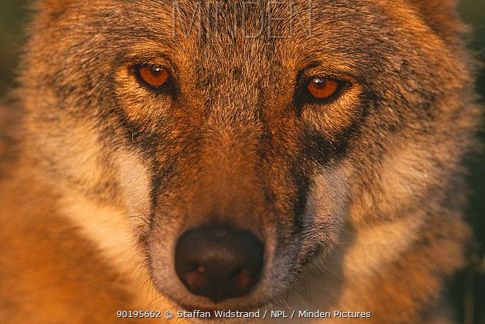 Grey wolf female head portrait, Carpathian mtns, Romania, captive  -  Staffan Widstrand/ npl