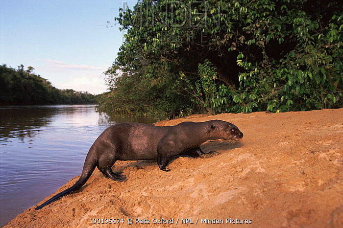 Giant otter at edge of river (Pteronura brasiliensis) Guyana  -  Pete Oxford/ npl