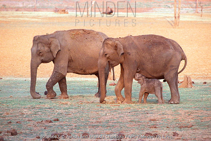 Indian elephant family group (Elephas maximus) Bandipur Tiger Reserve, Karnataka, India  -  Ashish Shanthi Chandola/ npl