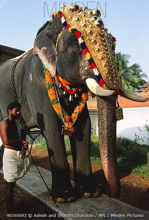 Decorated Indian elephant in Pooram festival, Thrissur, Kerala, India  -  Ashish Shanthi Chandola/ npl