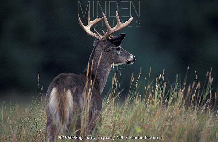 Male Whitetail deer in grass (Odocoileus virginianus) Anticosta Is, Quebec, Canada  -  Louis Gagnon/ npl