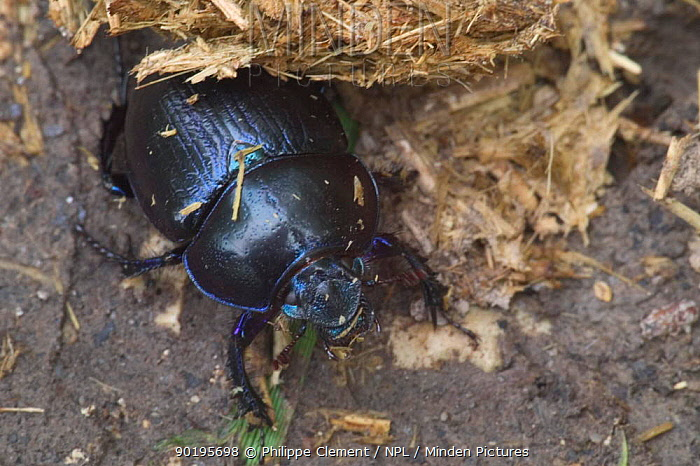 Dor beetle (Geotrupes stercorarius) by horse dung, France  -  Philippe Clement/ npl