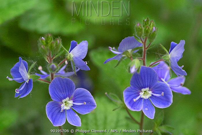 Germander speedwell (Veronica chamaedrys) France  -  Philippe Clement/ npl